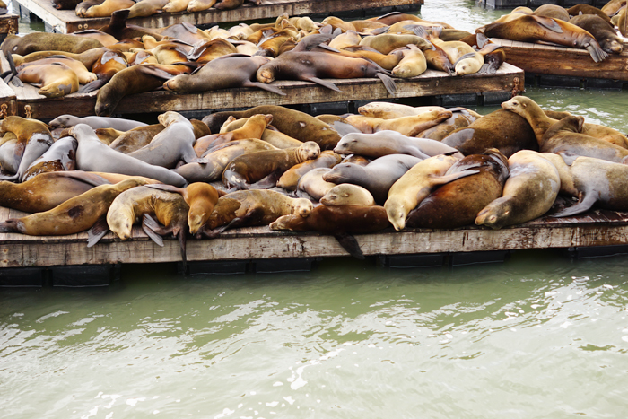Free and Cheap Things to do in San Francisco - Pier 39 Sea Lions