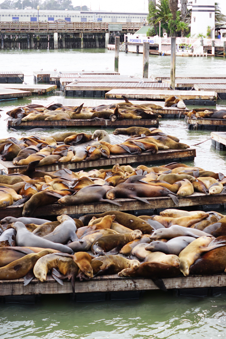 Free and Cheap Things to do in San Francisco - Sea Lions on Pier 39