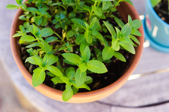 How to grow mint and it's many uses